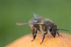 Μέλισσα στο πορτοκάλι που απομονώνεται Στοκ Εικόνα