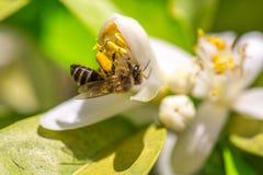 Μέλισσα στο πορτοκαλί λουλούδι δέντρων Στοκ Εικόνες