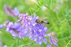 Μέλισσα στο πορφυρό λουλούδι Στοκ Φωτογραφία