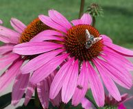 Μέλισσα στο πορφυρό λουλούδι Στοκ Εικόνες