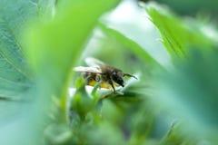 Μέλισσα στο πράσινο φύλλο στοκ φωτογραφία με δικαίωμα ελεύθερης χρήσης
