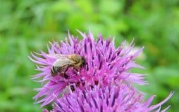 Μέλισσα στο ρόδινο λουλούδι Στοκ Φωτογραφίες