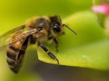 Μέλισσα στο φύλλο Στοκ Φωτογραφίες