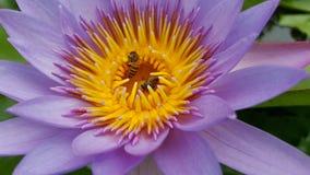 Μέλισσα στο λωτό Στοκ Εικόνες