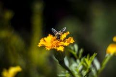 Μέλισσα στο bargatze Στοκ εικόνες με δικαίωμα ελεύθερης χρήσης