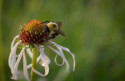 Μέλισσα στο coneflower στοκ φωτογραφία