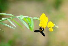 Μέλισσα φυσαλίδων με το λουλούδι juncea Στοκ φωτογραφία με δικαίωμα ελεύθερης χρήσης