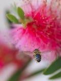 Μέλισσα 04 Στοκ φωτογραφία με δικαίωμα ελεύθερης χρήσης