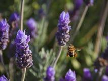 Μέλισσα 06 Στοκ φωτογραφίες με δικαίωμα ελεύθερης χρήσης