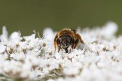 Μέλισσα Στοκ φωτογραφία με δικαίωμα ελεύθερης χρήσης