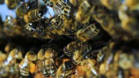 Μέλισσα απόθεμα βίντεο