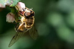 Μέλισσα/Apoidea Στοκ Εικόνα