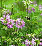 Μέλισσα Bumble κατά την πτήση Στοκ Φωτογραφίες