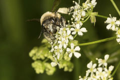 Μέλισσα Bumble στη βασίλισσα Anne& x27 δαντέλλα του s από Newbury, Νιού Χάμσαιρ Στοκ φωτογραφία με δικαίωμα ελεύθερης χρήσης
