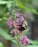 Μέλισσα Bumble στο βάλσαμό του Στοκ Εικόνες