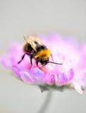 Μέλισσα Bumble στο πορφυρό λουλούδι Στοκ Φωτογραφίες