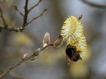 Μέλισσα Bumble, Bombus SP Συλλογή του νέκταρ στο λουλούδι ιτιών Στοκ εικόνες με δικαίωμα ελεύθερης χρήσης