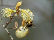 Μέλισσα Bumble, Bombus SP Συλλογή του νέκταρ στο λουλούδι ιτιών Στοκ Φωτογραφίες