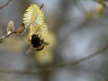 Μέλισσα Bumble, Bombus SP Συλλογή του νέκταρ στο λουλούδι ιτιών Στοκ φωτογραφίες με δικαίωμα ελεύθερης χρήσης