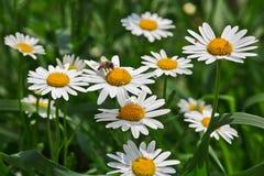 Μέλισσα camomile. Στοκ Φωτογραφία