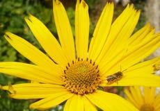 Μέλισσα camomile Στοκ Φωτογραφίες