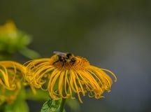 Μέλισσα Elecampane λουλουδιών Στοκ Εικόνα