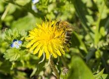 Μέλισσα Honney Στοκ Φωτογραφίες