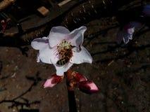 Μέλισσα Honney Στοκ εικόνες με δικαίωμα ελεύθερης χρήσης