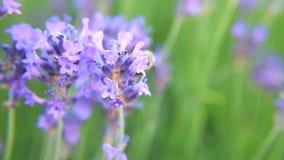 Μέλισσα Lavender στο λουλούδι απόθεμα βίντεο