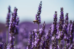 Μέλισσα lavender Στοκ εικόνες με δικαίωμα ελεύθερης χρήσης