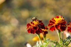 Μέλισσα Marigold Στοκ Φωτογραφίες