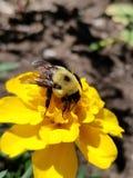 Μέλισσα marigold Στοκ Εικόνες
