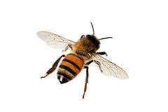 Μέλισσα, mellifera Apis Στοκ Εικόνα