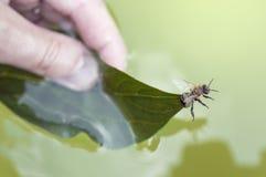 Μέλισσα Resque ατόμων Στοκ Φωτογραφίες