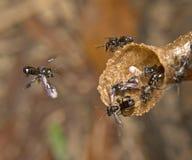 Μέλισσα Trigona στοκ εικόνα με δικαίωμα ελεύθερης χρήσης