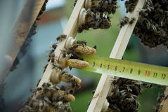 Μέλισσες βασίλισσας αναπαραγωγής Στοκ Φωτογραφίες