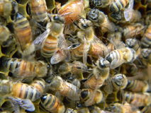 Μέλισσες εργαζομένων Στοκ Εικόνες