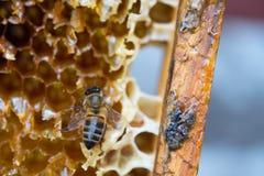 Μέλισσες εργασίας στα κύτταρα μελιού στοκ φωτογραφία με δικαίωμα ελεύθερης χρήσης