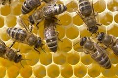 Μέλισσες εργασίας στην κυψέλη Στοκ φωτογραφία με δικαίωμα ελεύθερης χρήσης