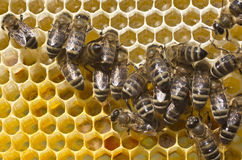 Μέλισσες εργασίας στην κυψέλη Στοκ εικόνες με δικαίωμα ελεύθερης χρήσης