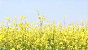 Μέλισσες και κίτρινα λουλούδια απόθεμα βίντεο