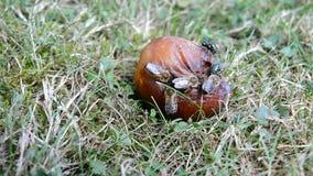 Μέλισσες και μύγες στο σάπιο δαμάσκηνο Στοκ Φωτογραφίες