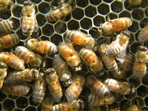 Μέλισσες και νέκταρ μελιού Στοκ Φωτογραφίες
