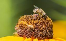 Μέλισσες και λουλούδια Στοκ Φωτογραφία