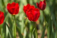 Μέλισσες και τουλίπες Στοκ εικόνα με δικαίωμα ελεύθερης χρήσης