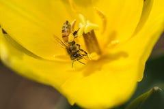Μέλισσες και τουλίπες Στοκ φωτογραφία με δικαίωμα ελεύθερης χρήσης