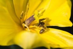 Μέλισσες και τουλίπες Στοκ Εικόνα