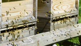 Μέλισσες κατά την πτήση στην κυψέλη τους απόθεμα βίντεο