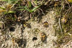 Μέλισσες κισσών (hederae Colletes) που προκύπτουν από το σύνθετο σηράγγων Στοκ Εικόνες