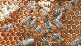 Μέλισσες μέσα στην κυψέλη απόθεμα βίντεο